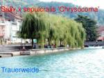 salix x sepulcralis chrysocoma