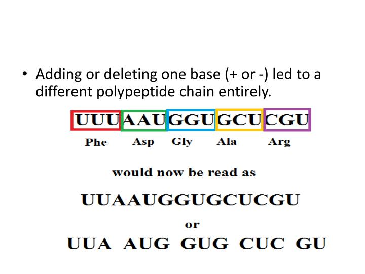Adding or deleting one base (+ or -) led to a different polypeptide chain entirely.