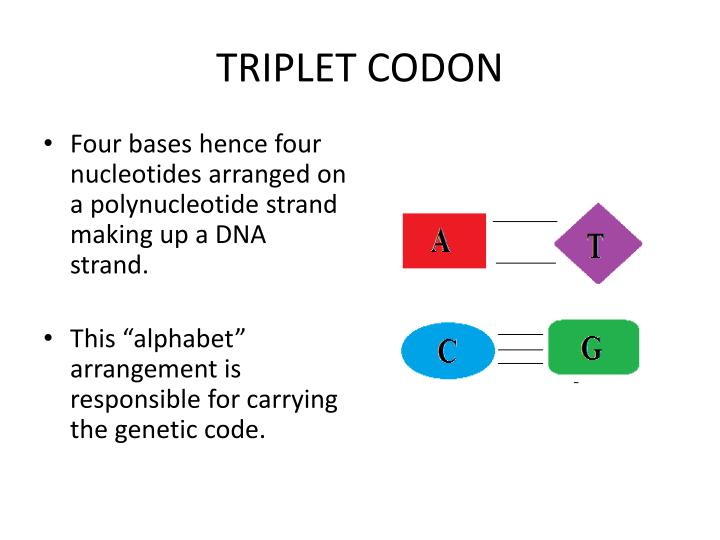 Four bases hence four nucleotides arranged on a polynucleotide strand making up a DNA strand.