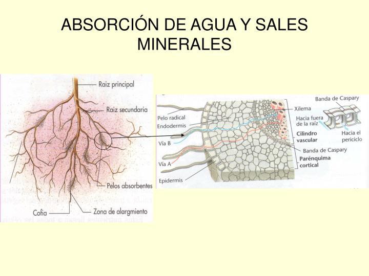 ABSORCIÓN DE AGUA Y SALES MINERALES