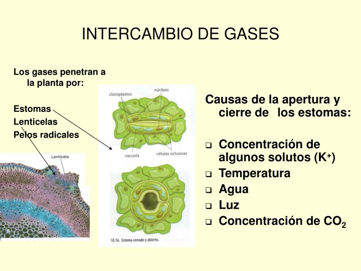 Los gases penetran a la planta por: