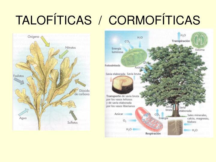 TALOFÍTICAS  /  CORMOFÍTICAS