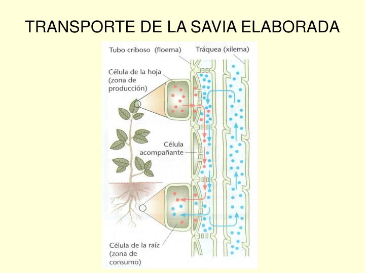 TRANSPORTE DE LA SAVIA ELABORADA