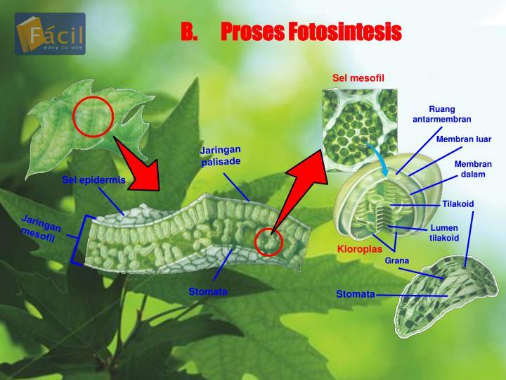 B.Proses Fotosintesis