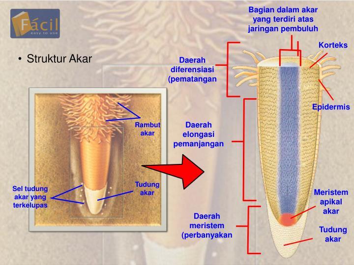Bagian dalam akar yang terdiri atas jaringan pembuluh