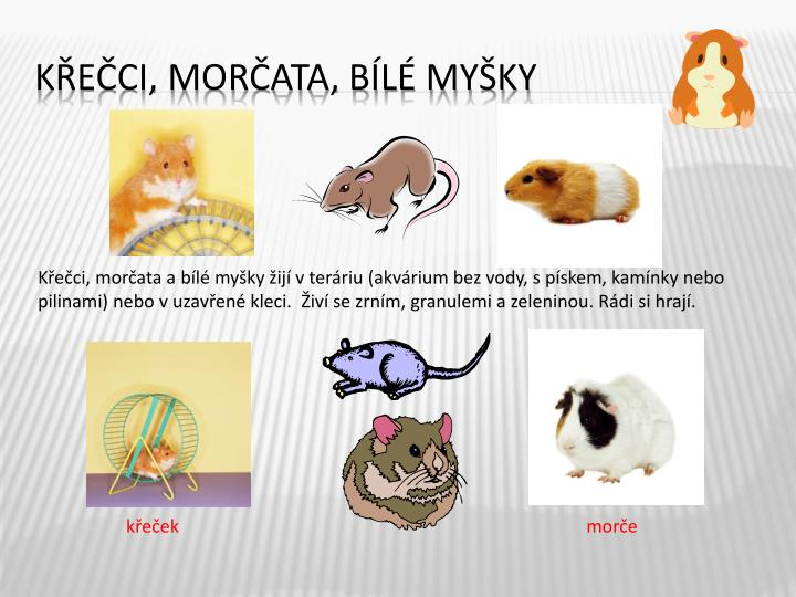 Křečci, morčata a bílé myšky žijí v teráriu (akvárium bez vody, s pískem, kamínky nebo pilinami) nebo v uzavřené kleci.