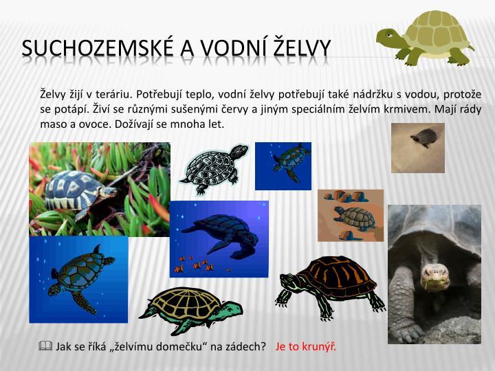 Želvy žijí v teráriu. Potřebují teplo, vodní želvy potřebují také nádržku s vodou, protože se potápí. Živí se různými sušenými červy a jiným speciálním želvím krmivem. Mají rády maso a ovoce. Dožívají se mnoha let.