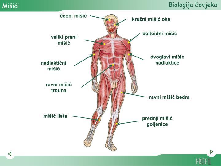 prednji mišić goljenice
