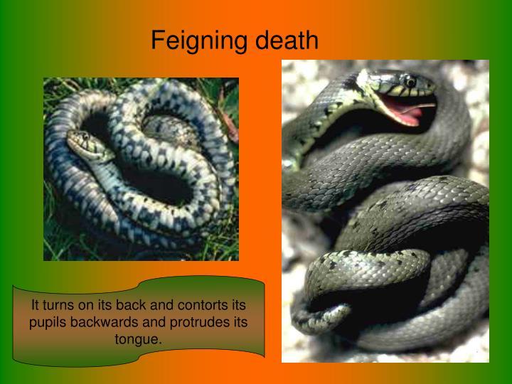 Feigning death
