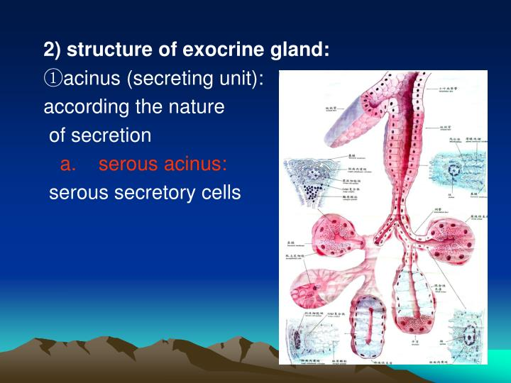 2) structure of exocrine gland:
