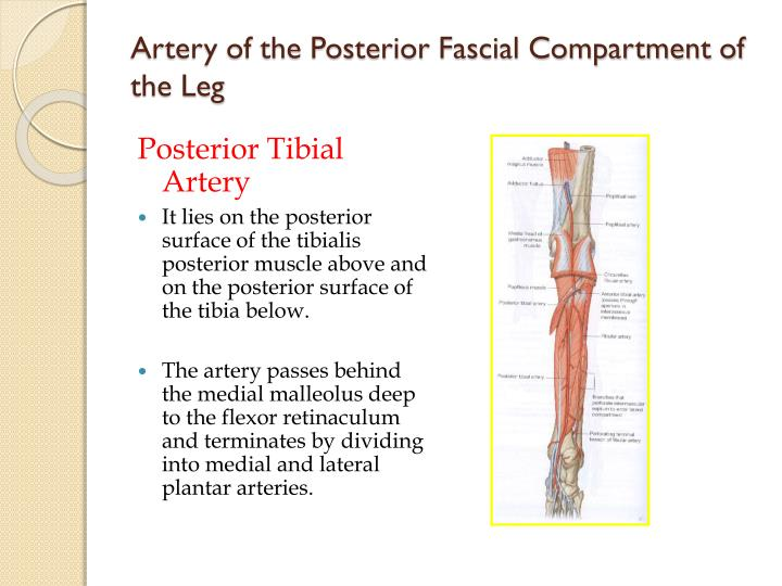 Artery of the Posterior Fascial Compartment of the Leg