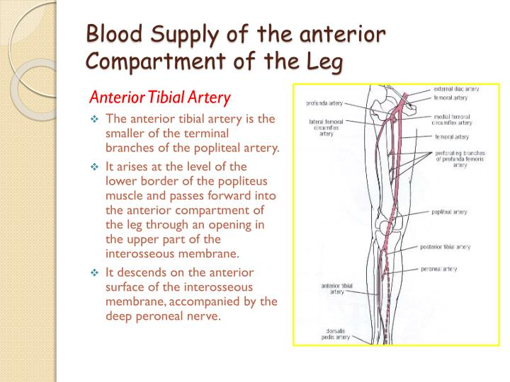 Blood Supply of the anterior Compartment of the Leg