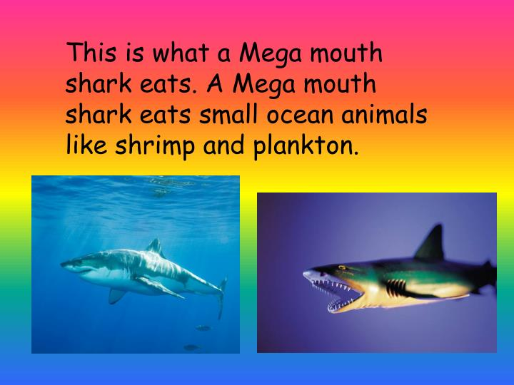 This is what a Mega mouth shark eats. A Mega mouth shark eats small ocean animals like shrimp and plankton.