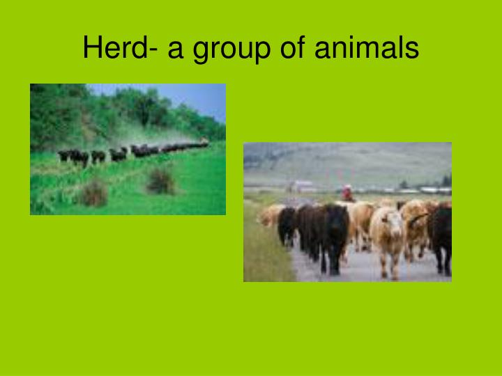 Herd- a group of animals