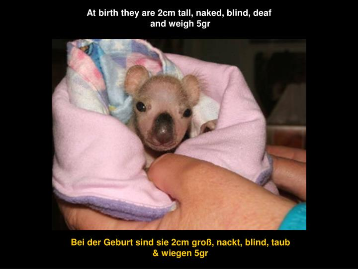 At birth they are 2cm tall, naked, blind, deaf