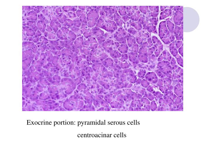 Exocrine portion: pyramidal serous cells