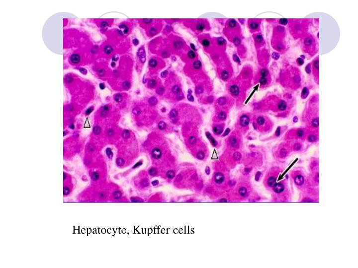 Hepatocyte, Kupffer cells