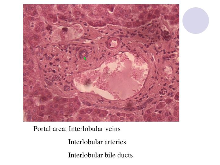 Portal area: Interlobular veins