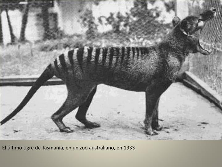 El último tigre de Tasmania, en un zoo australiano, en 1933