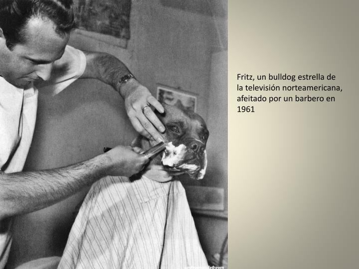 Fritz, un bulldog estrella de la televisión norteamericana, afeitado por un barbero en 1961