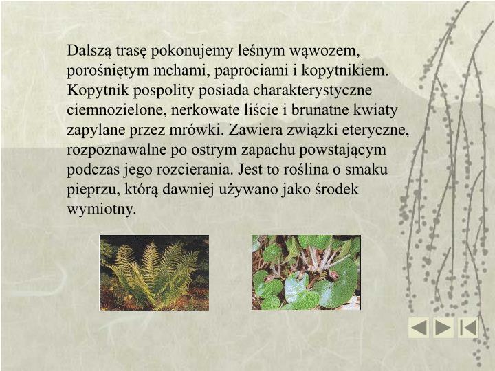 Dalszą trasę pokonujemy leśnym wąwozem, porośniętym mchami, paprociami i kopytnikiem. Kopytnik pospolity posiada charakterystyczne ciemnozielone, nerkowate liście i brunatne kwiaty zapylane przez mrówki. Zawiera związki eteryczne, rozpoznawalne po ostrym zapachu powstającym podczas jego rozcierania. Jest to roślina o smaku pieprzu, którą dawniej używano jako środek wymiotny.