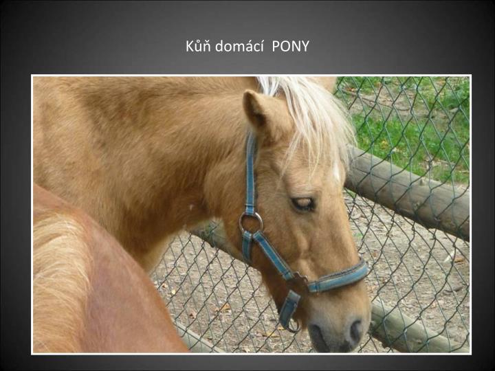 Kůň domácí  PONY