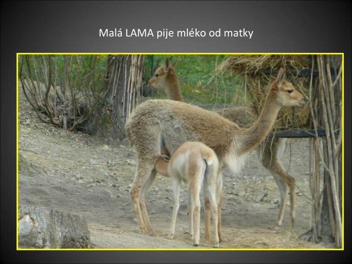 Malá LAMA pije mléko od matky