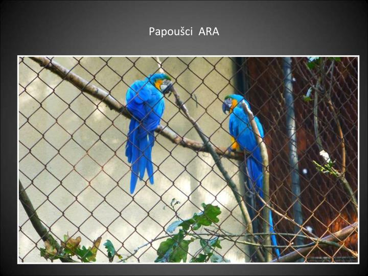 Papoušci  ARA