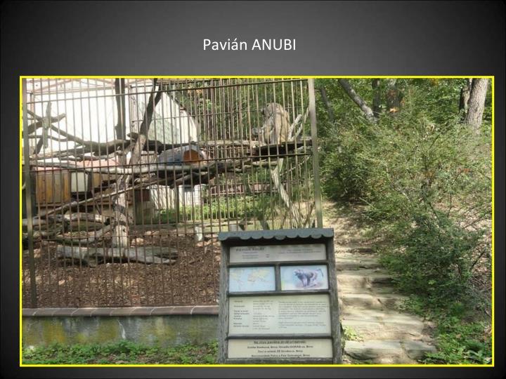 Pavián ANUBI
