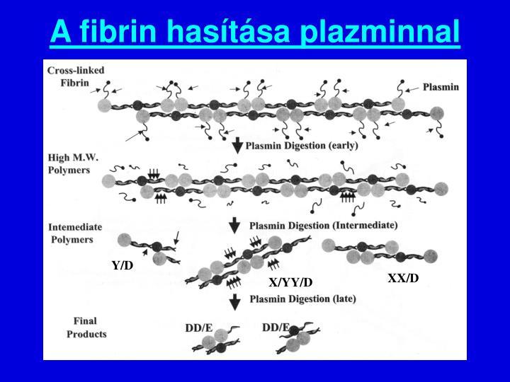 A fibrin hasítása plazminnal
