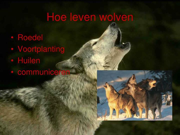 Hoe leven wolven
