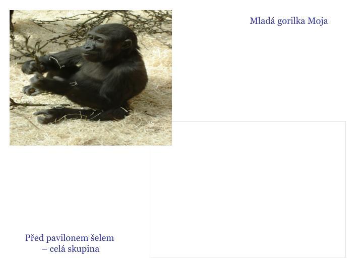 Mladá gorilka Moja