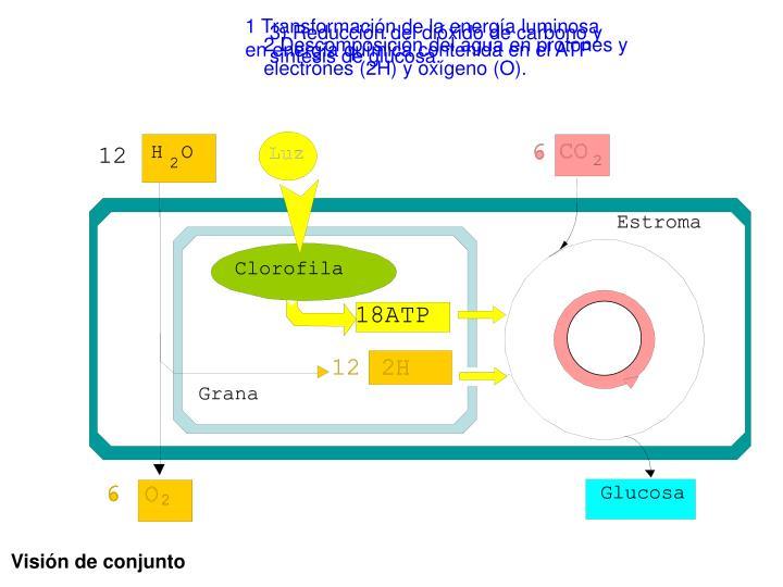 1 Transformación de la energía luminosa en energía química contenida en el ATP