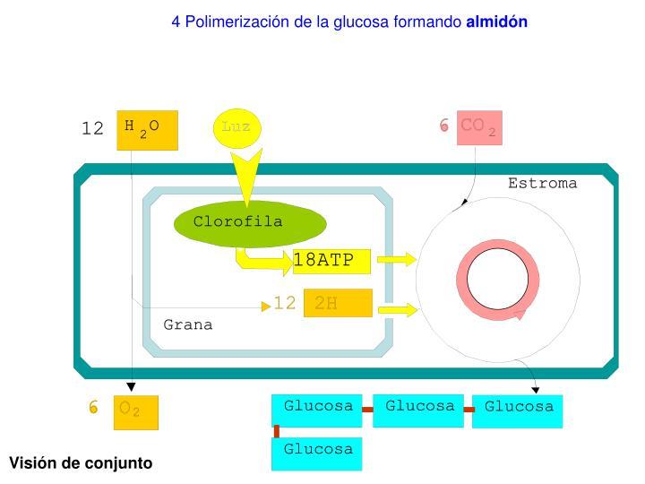 4 Polimerización de la glucosa formando
