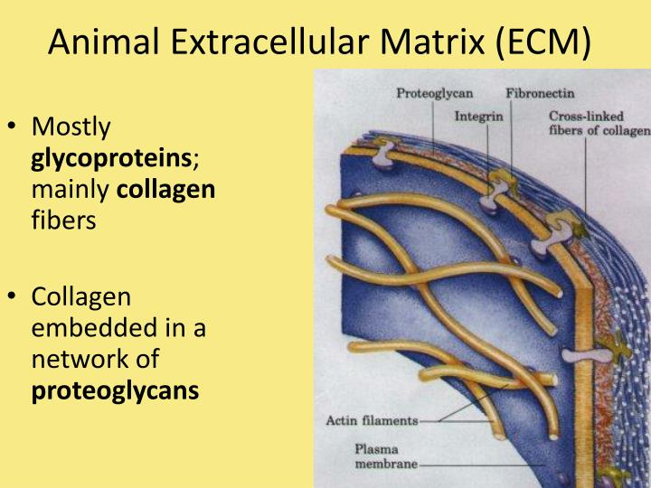 Animal Extracellular Matrix (ECM)