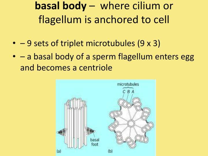 basal body