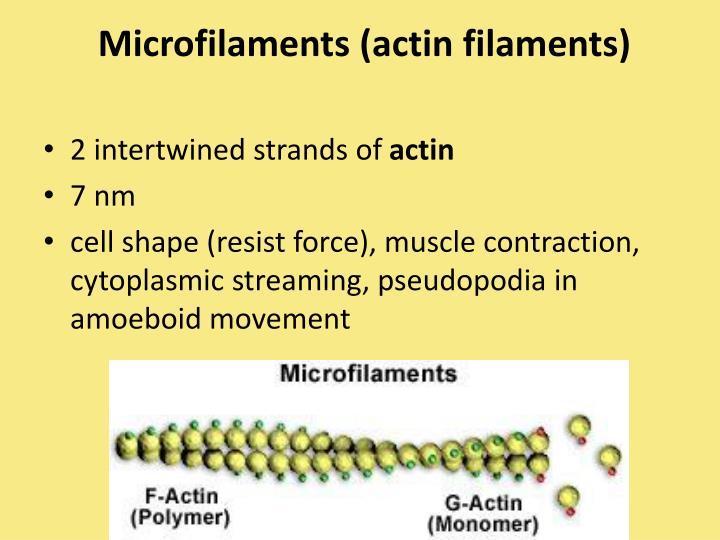 Microfilaments (