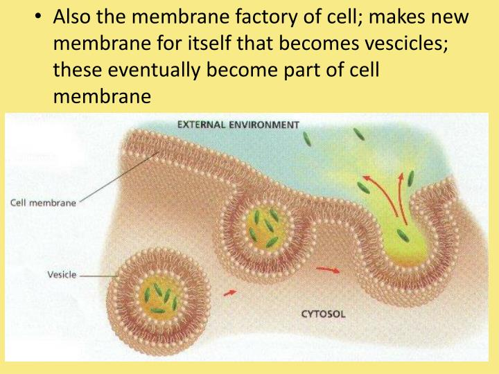 Also the membrane factory of cell; makes new membrane for itself that becomes vescicles; these eventually become part of cell membrane