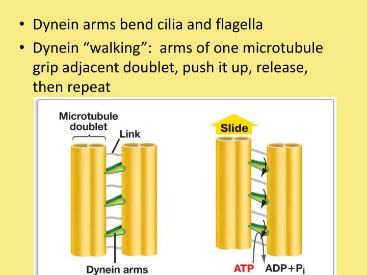 Dynein arms bend cilia and flagella