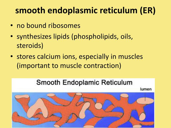 smooth endoplasmic reticulum (ER)