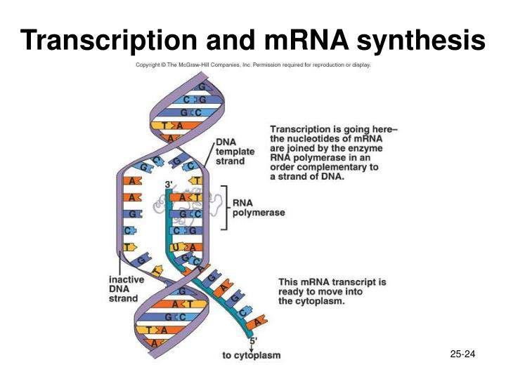 Transcription and mRNA synthesis