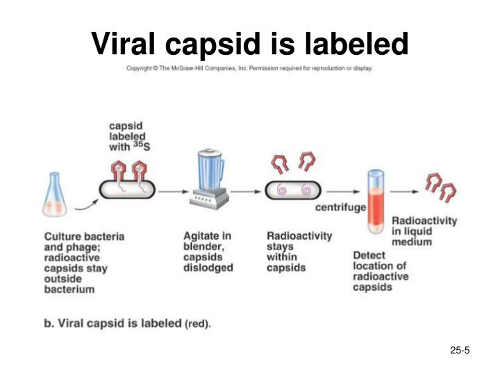 Viral capsid is labeled