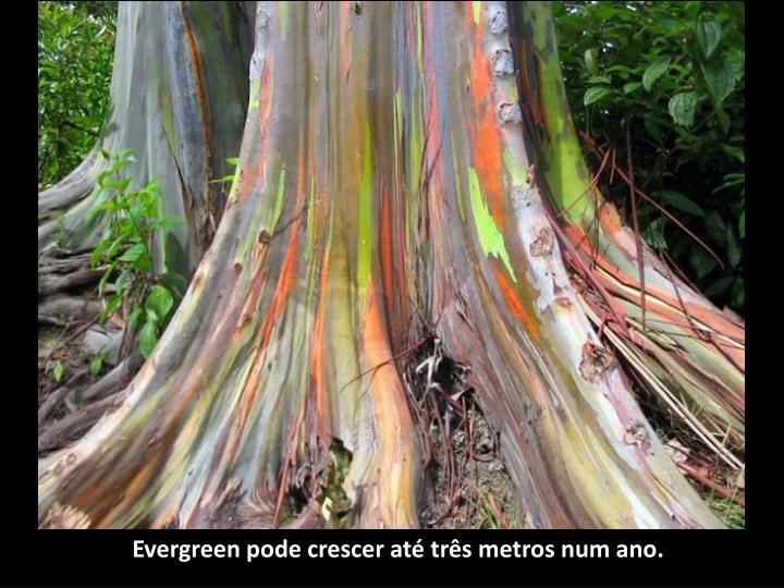Evergreen pode crescer até três metros num ano.