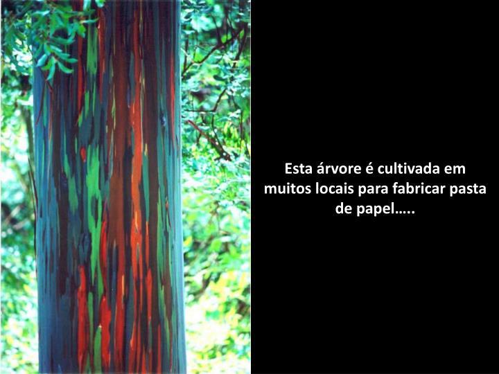 Esta árvore é cultivada em muitos locais para fabricar pasta de papel…..