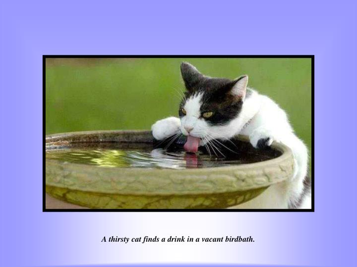 A thirsty cat finds a drink in a vacant birdbath.