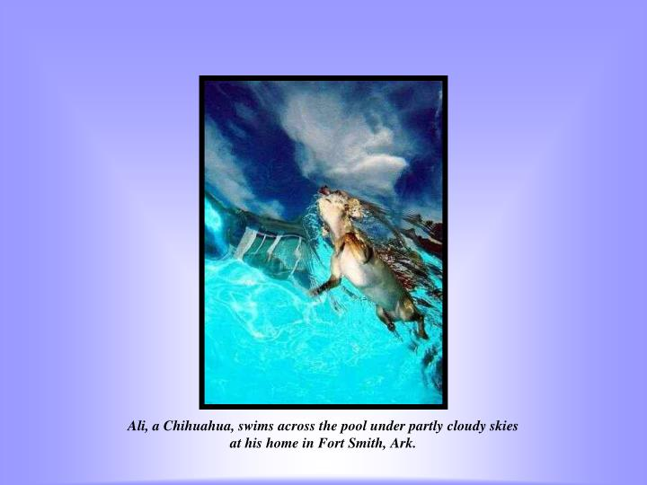 Ali, a Chihuahua, swims across the pool under partly cloudy skies