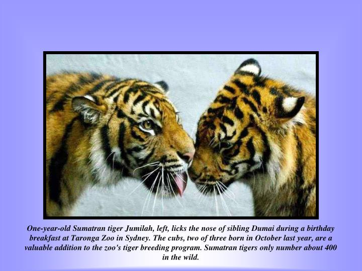 One-year-old Sumatran tiger Jumilah, left, licks the nose of sibling Dumai during a birthday breakfast at Taronga Zoo in Sydney. The cubs, two of three born in October last year, are a valuable addition to the zoo's tiger breeding program. Sumatran tigers only number about 400 in the wild.