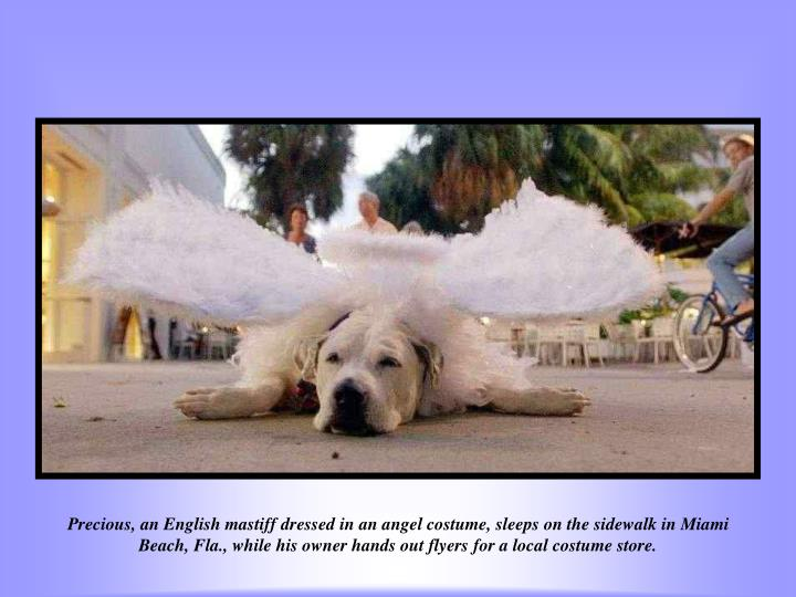 Precious, an English mastiff dressed in an angel costume, sleeps on the sidewalk in Miami Beach, Fla., while his owner hands out flyers for a local costume store.