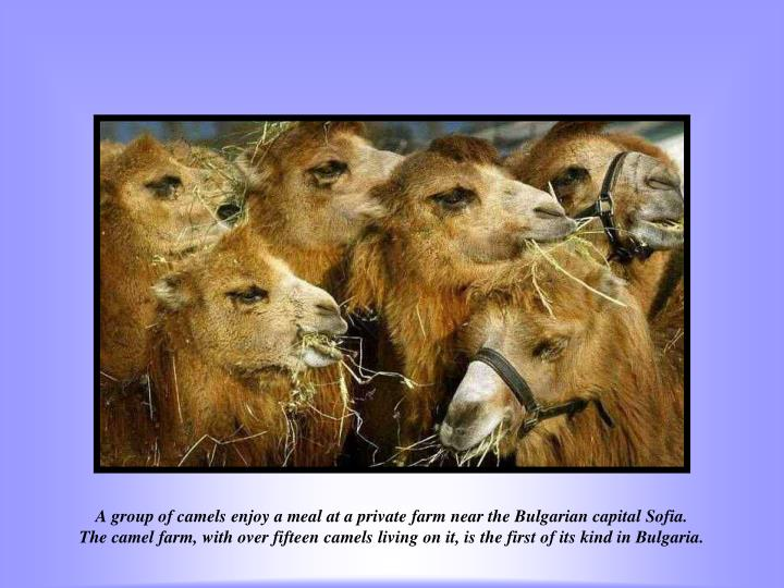 A group of camels enjoy a meal at a private farm near the Bulgarian capital Sofia.