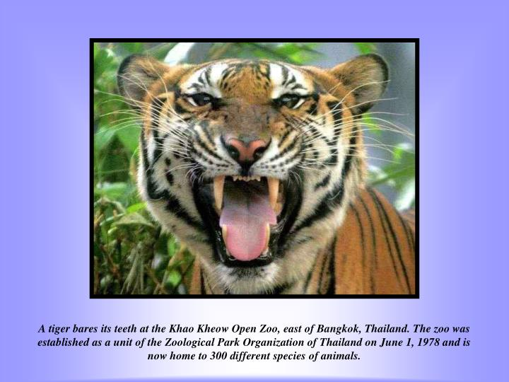 A tiger bares its teeth at the Khao Kheow Open Zoo, east of Bangkok, Thailand. The zoo was established as a unit of the Zoological Park Organization of Thailand on June 1, 1978 and is now home to 300 different species of animals.